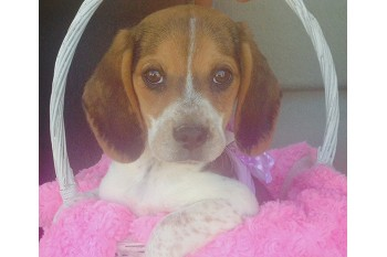 Arizona Beagles Easter Puppies