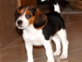 arizona-beagle-puppy