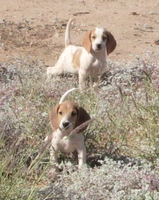 Training Beagle Puppies